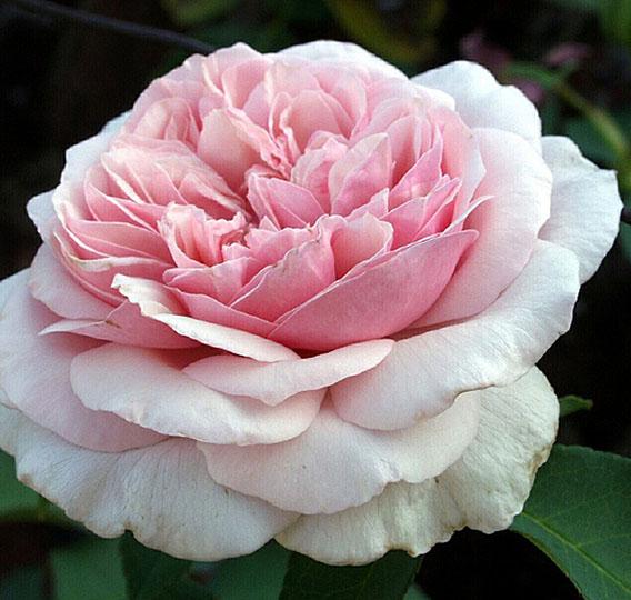 rose-souvenir-de_la-malmaison